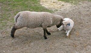 lamb bullies poodle!