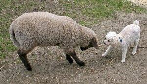 Lamb & poodle