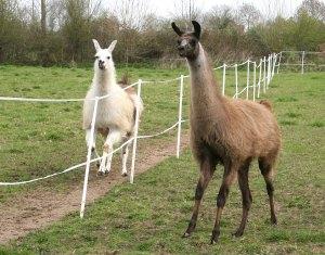 Llama's meeting