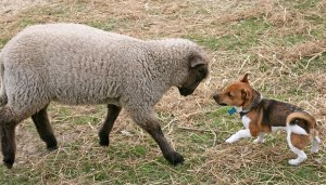 Jack Russell & Lamb